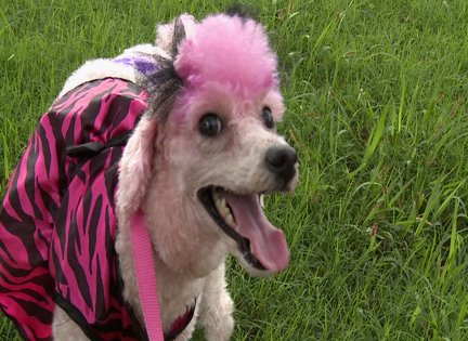 FESTIVE, CUSTOM DESIGNS AND DYE JOBS FOR YOUR DOGS COAT, MADE WITH VEGAN, ANIMAL FRIENDLY DYES