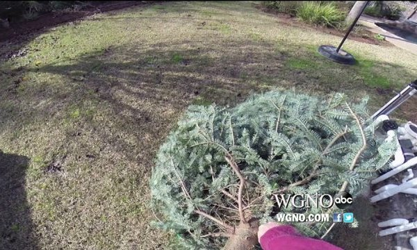 Christmas Tree Recycling Begins