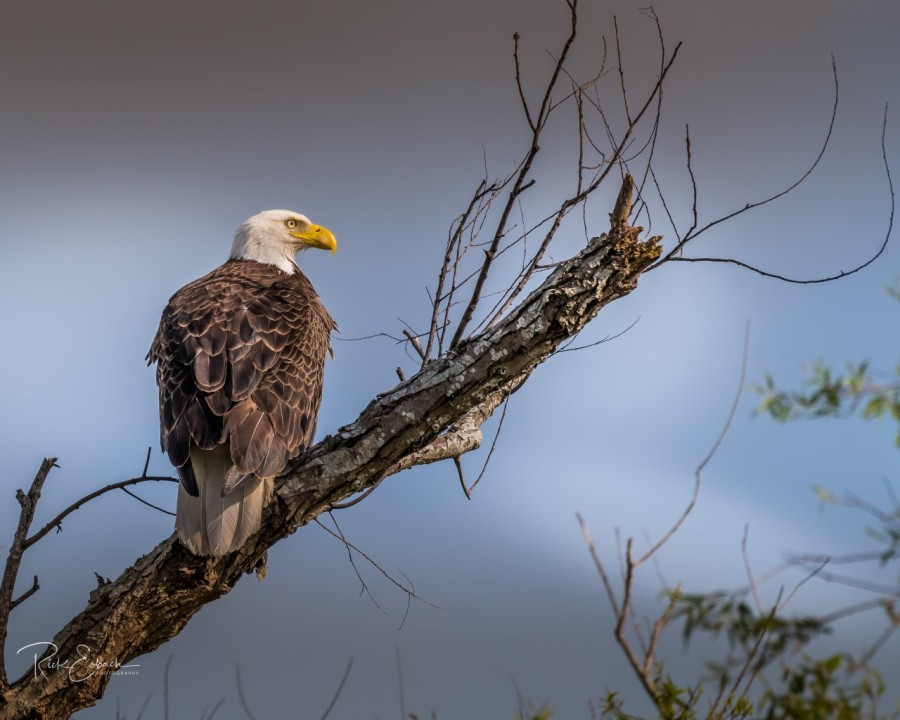 The 15th Annual Eagle Expo Highlighting American Bald Eagle In Louisiana Wgno
