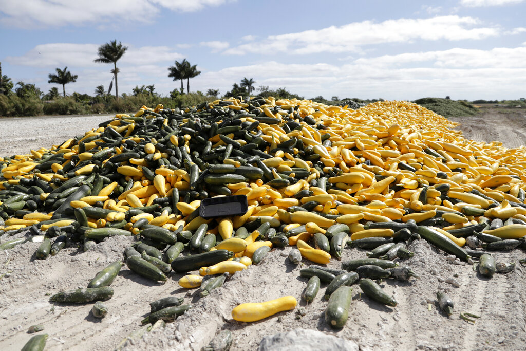 A pile of ripe squash sits in a field in Homestead, Florida. Thousands of acres of fruits and vegetables grown in Florida are being plowed over or left to rot because farmers can't sell to restaurants, theme parks or schools nationwide that have closed because of the coronavirus. (AP Photo/Lynne Sladky)