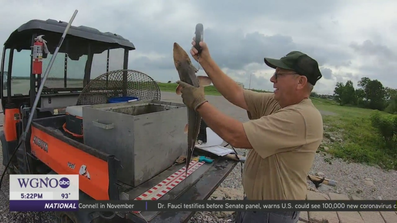 Rare Fish rescued in Bonnet Carre' Spillway