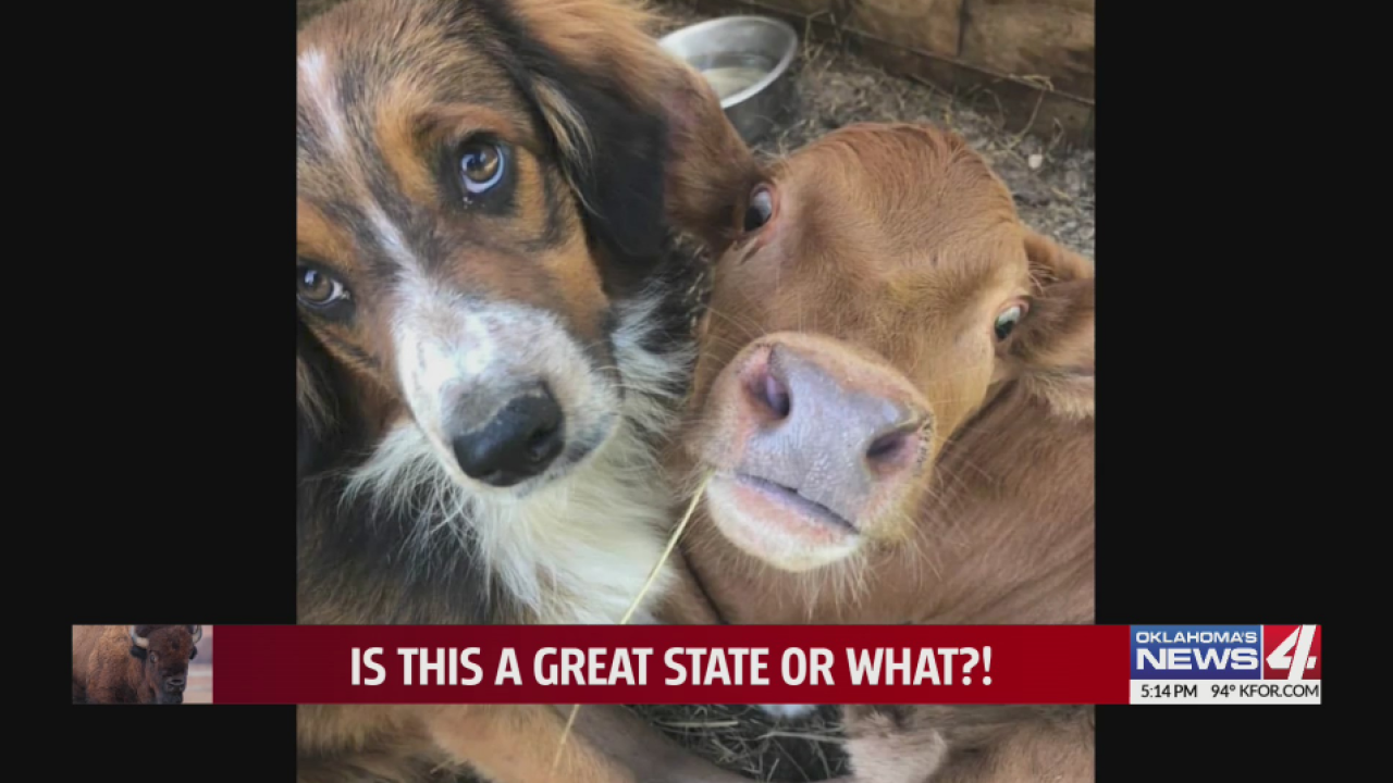 A friendship to remember: A failed cattle dog and a downed calf won't leave each other's side