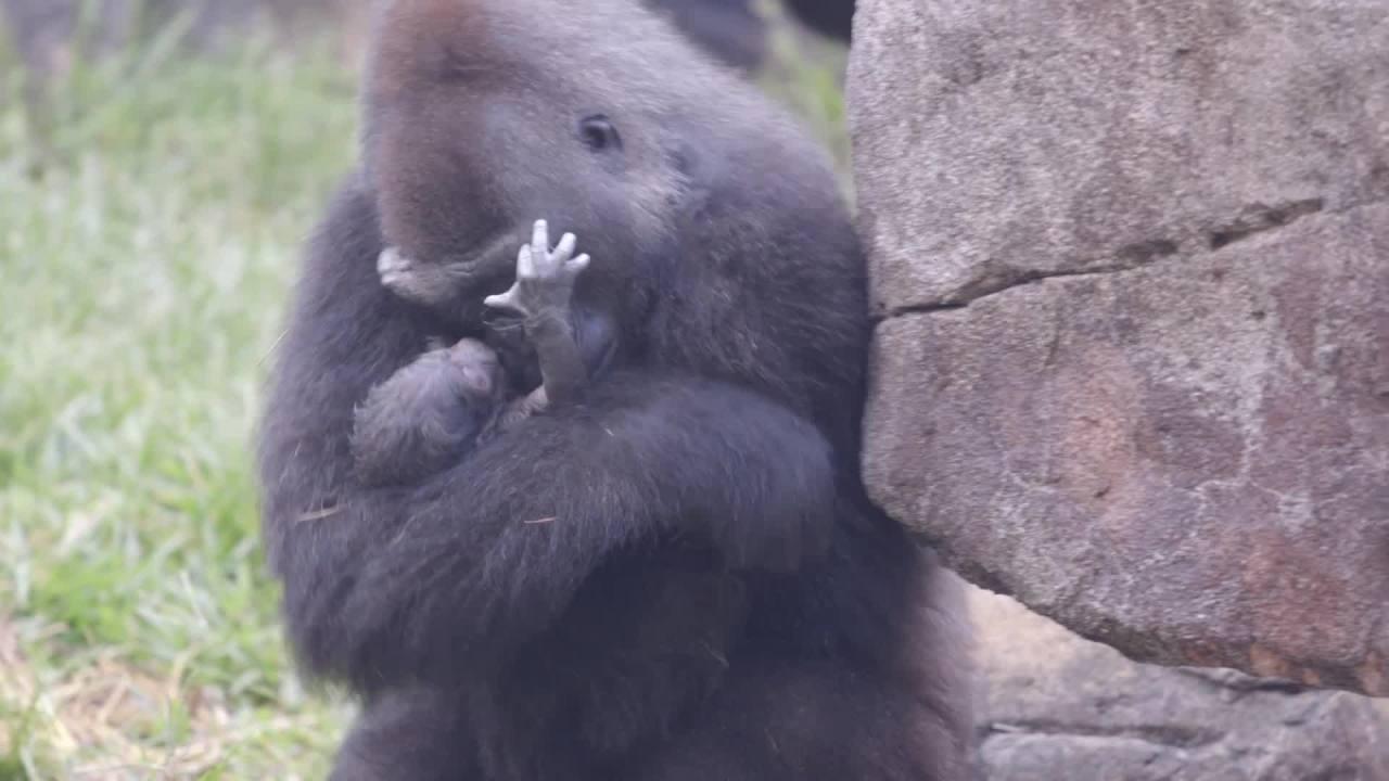 Critically Endangered Gorilla Born at the Audubon Zoo