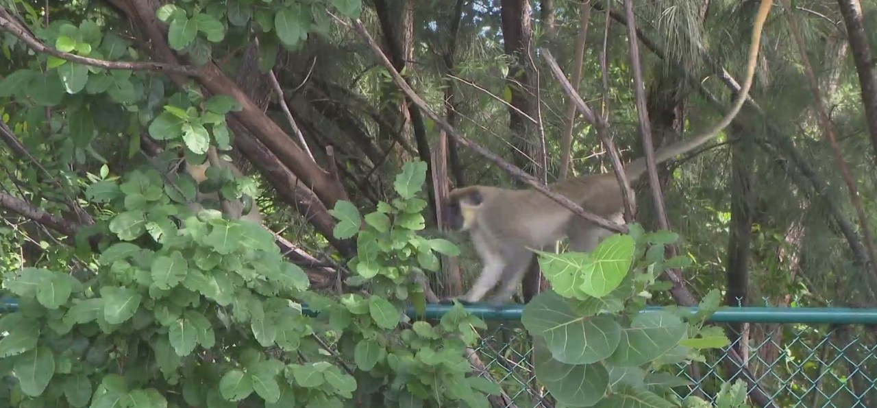 Colony of wild monkeys living among human population in South Florida city